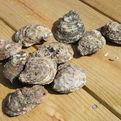 Rappahannock River Olde Salt Oysters - 25 count